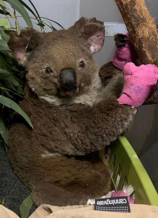 Adoptierter Koala der Consulting Böblingen Steuerberatungsgesellschaft: LINR Anwen